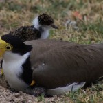 Tenterfield Photo competition entry - Baby Plover Tenterfield