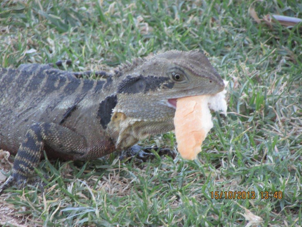 This local critter was snapped by Joe under the Bingara bridge enjoying a picnic — at Gwydir.