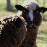 Tenterfield Photo competition entry - Sheep! Tenterfield