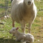 Tenterfield Photo competition entry - Spring Lamb Tenterfield
